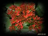 植物-景天科:景天科-長壽花