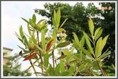 植物-杜英科:杜英科-大花杜英01