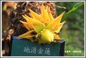 植物-芭蕉科:芭蕉科~地湧金蓮08