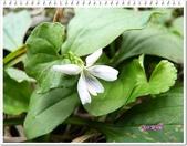 植物-堇菜科:堇菜科-如意草