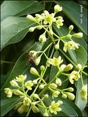 植物-樟科:樟科-陰香(二)16