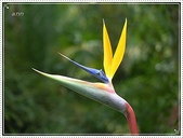 植物-旅人蕉科。棕櫚科:旅人蕉科-天堂鳥蕉01