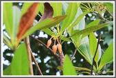 植物-杜英科:杜英科-大花杜英02