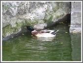 (yahoo)鵝。鴨:鴨鴨~板橋林家花園