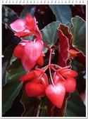 植物-秋海棠科:秋海棠科-大紅秋海棠05