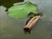 植物-蓮科:蓮科-荷葉