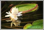 植物-睡蓮科:睡蓮科~克魯茲王蓮(大王蓮)07