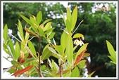 植物-杜英科:杜英科-大花杜英03