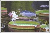 植物-睡蓮科:睡蓮科~克魯茲王蓮(大王蓮)14
