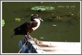 (yahoo)鵝。鴨:鴨鴨~台北植物園