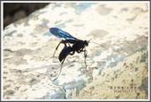 昆蟲:_MG_8667.JPG