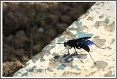 昆蟲:_MG_8670.JPG