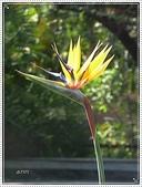 植物-旅人蕉科。棕櫚科:旅人蕉科-天堂鳥蕉03