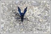 昆蟲:_MG_8691.JPG