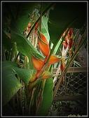 植物-旅人蕉科。棕櫚科:旅人蕉科-艷紅赫蕉02(植物園)