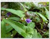植物-堇菜科:堇菜科-小堇菜