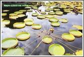 植物-睡蓮科:睡蓮科~克魯茲王蓮(大王蓮)01