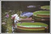 植物-睡蓮科:睡蓮科~克魯茲王蓮(大王蓮)12