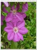 植物-毛茛科:毛茛科-鐵線蓮12