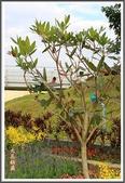 植物-杜英科:杜英科-大花杜英05