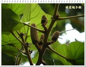 植物-梧桐科:槭葉翅子樹20