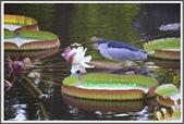 植物-睡蓮科:睡蓮科~克魯茲王蓮(大王蓮)15