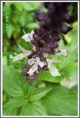 植物-唇形科:唇形科-羅勒07