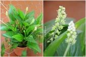 Ann的小花園:闊葉油點百合20160511.jpg