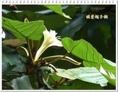 植物-梧桐科:槭葉翅子樹19