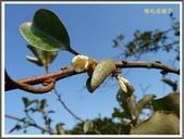 植物-瑞香科。胡頹子科:胡頹子科~鄧氏胡頹子