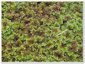 (yahoo)蕨類植物:蕨類植物-滿江紅科-滿江紅08