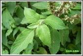植物-唇形科:唇形科-美羅勒08