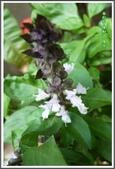 植物-唇形科:唇形科-羅勒01