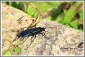 昆蟲:_MG_8699.JPG