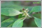植物-唇形科:唇形科-美羅勒09