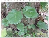 植物-梧桐科:槭葉翅子樹25
