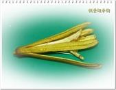 植物-梧桐科:槭葉翅子樹26