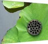 植物-蓮科:蓮科-荷花