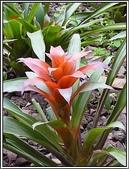 植物-鳳梨科:鳳梨科-紅擎天鳳梨