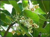 植物-金絲桃科:金絲桃科-瓊崖海棠
