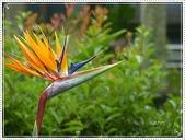 植物-旅人蕉科。棕櫚科:旅人蕉科-天堂鳥蕉07