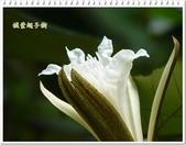植物-梧桐科:槭葉翅子樹12