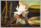 植物-睡蓮科:睡蓮科~克魯茲王蓮(大王蓮)03