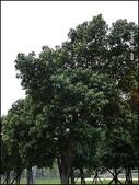 植物-樟科:樟科-陰香(二)14