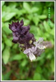 植物-唇形科:唇形科-羅勒06