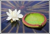植物-睡蓮科:睡蓮科~克魯茲王蓮(大王蓮)08