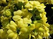 植物-景天科:景天科-重瓣長壽花