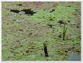 (yahoo)蕨類植物:蕨類植物-滿江紅科-滿江紅06