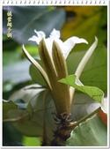 植物-梧桐科:槭葉翅子樹23