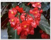 植物-秋海棠科:秋海棠科-大紅秋海棠08